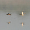 Couple gadwalls (Anas strepera) - krakeend - male following female