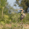 Purple heron (Ardea purpurea) - purperreiger - this one stole a branch from an other nest. Surely, that branch will come in handy in preparing its own nest. See more on this robbery in the Brenne Spring 2009 gallery