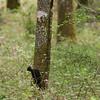 Black Woodpecker (Dryocopus martius) - zwarte specht - Brenne France