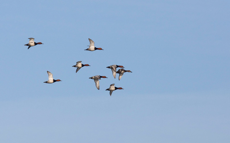 Flight of pochards (Aythya ferina) - tafeleend with seven males for one female (front one) it is clear who has the opportunity to chose here