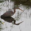 "Purple heron (Ardea purpurea) - purperreiger - same bird as previous picture - I haven't been very satisfied of the 2x convertor of Canon - I bought it about 8 years ago and decided to give the ""series 2"" version a go - must say that at least in this picture it worked out quite well (stacked on my 400mm DO lens)"