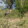Purple heron (Ardea purpurea) - purperreiger