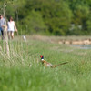Pheasant (Phasianus colchicus) - fazant - running for cover for the approaching people