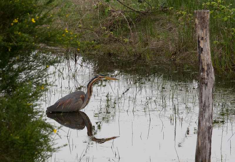 "Purple heron (Ardea purpurea) - purperreiger - here ""shot"" from the hide at the Foucault lake in the Brenne"