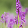 Green-winged Orchid (Orchis morio) - harlekijn