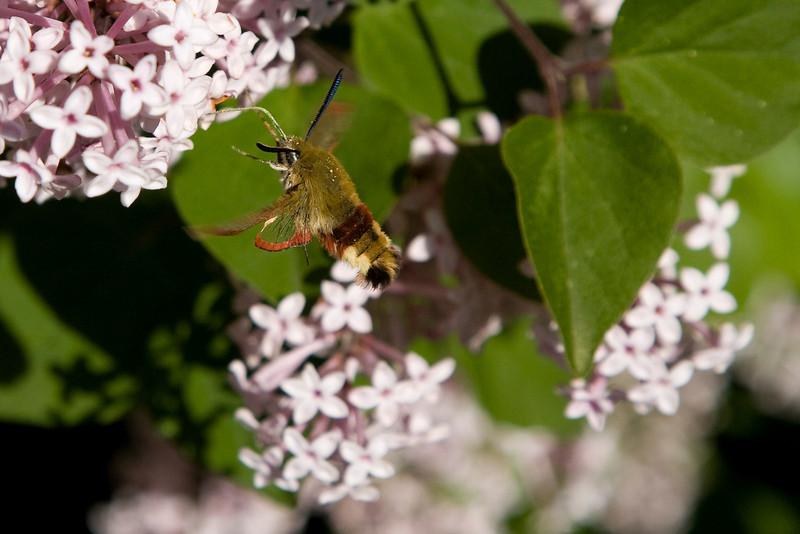 Broad-bordered Bee Hawk-moth (Hemaris fuciformis) - glasvleugel pijlstaart