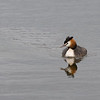 Great Crested grebe (Podiceps cristatus) - fuut - Brenne France