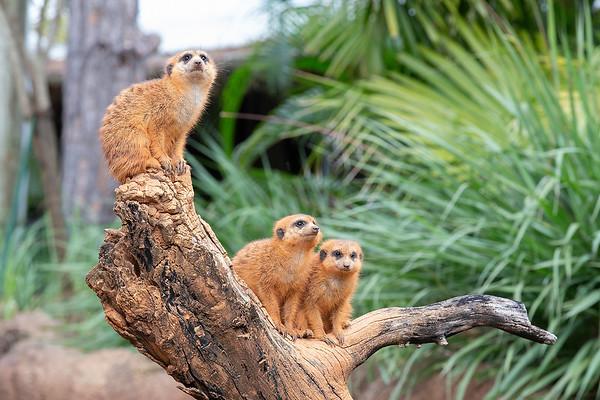 Meercats at Brevard Zoo