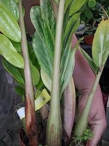 variegated zamia