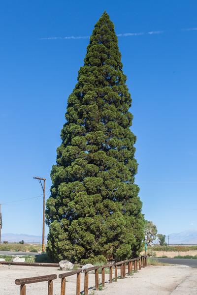 Roosevelt Tree - giant Sequoia