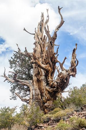 Bristle Cone Pine Grove, White Mountains