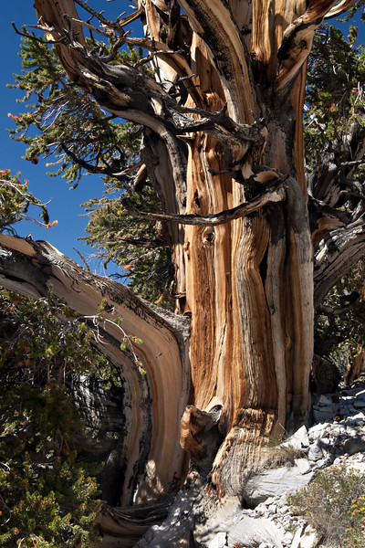 Although portions of these trees have been dead for a millennium, the trees are actually 3,000 to 5,000 years old.