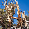 The Bristlecone Pine Forest is located 10,000 feet above sea level.