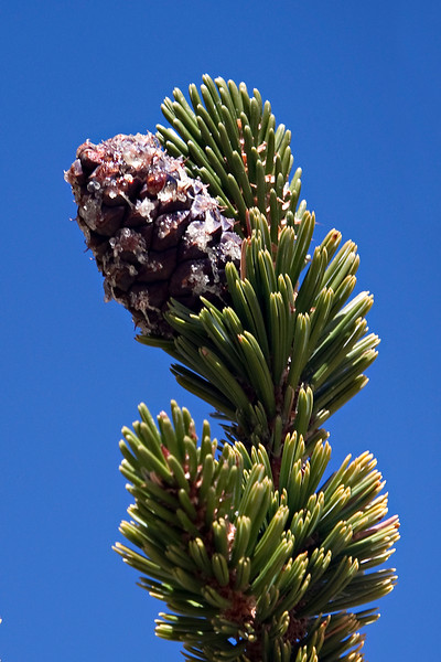 Cone of a young Bristlecone Pine