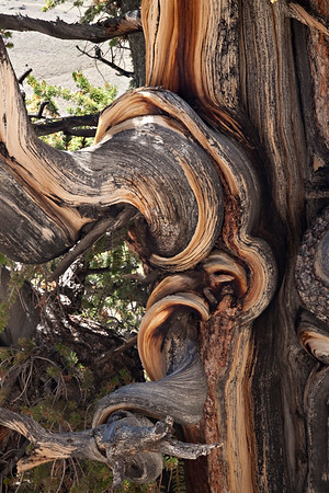 Ancient Bristlecone Pine Forest, CA