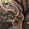Detail of a Bristlecone Pine tree