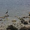 Heron, by Stanley Park