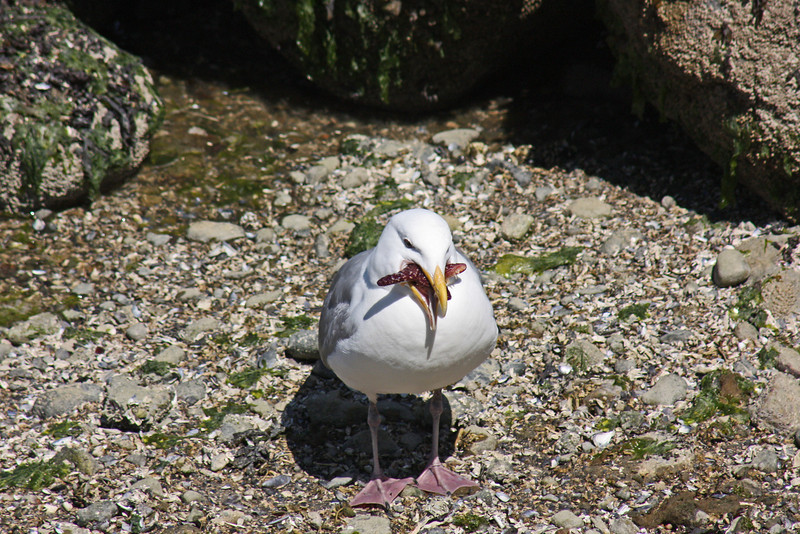 Gull with something in mouth