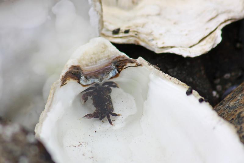 Beach crab, SeaDreams