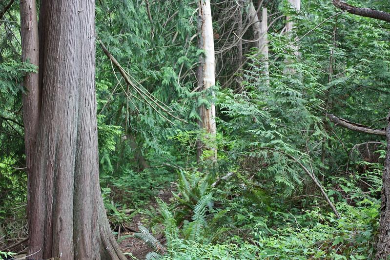 Douglas fir forest, Gibson's Beach trail