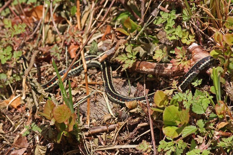 Garter snake, Inland Lake
