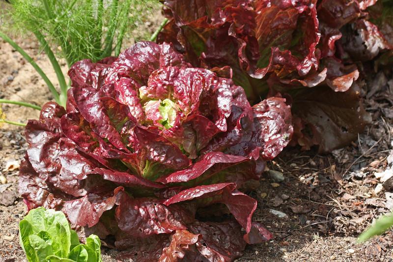 Janet's garden - lettuce
