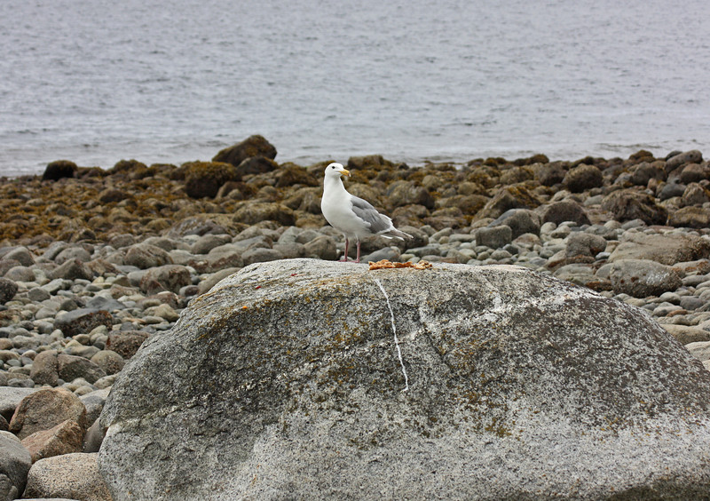 Gull with stale bread, Strait of Georgia.  The inkeepers put out the bread.