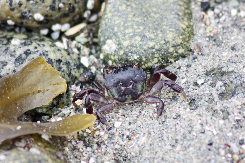 Beach crab, SeaDreams.  This and succeeding crabs are MAYBE an inch long!