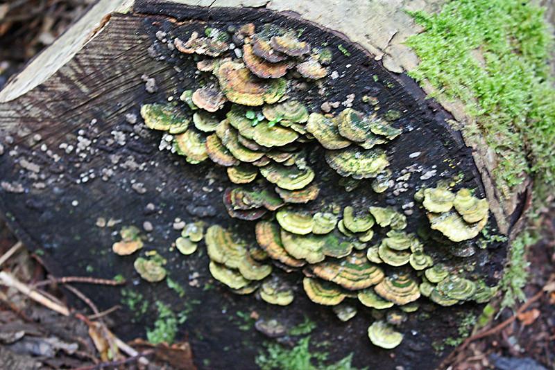Shelf fungus on cut tree, Gibson's Beach trail