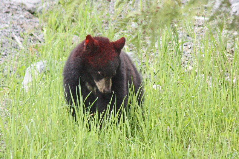 Yearling bear, Blackcomb Mt.