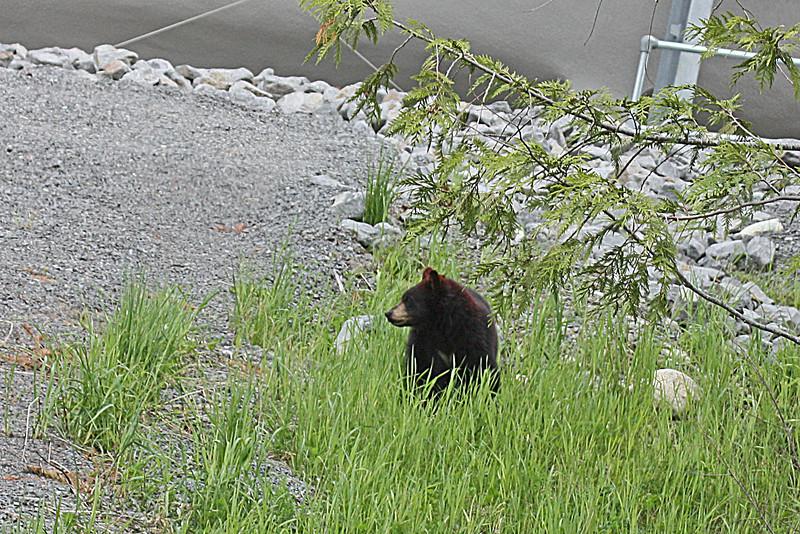 Yearling bear, Blackcomb Mt.