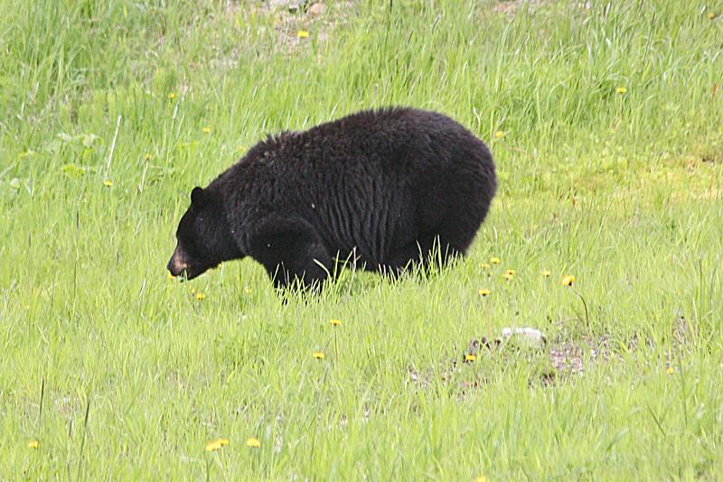 Matriarch bear, Blackcomb Mt.
