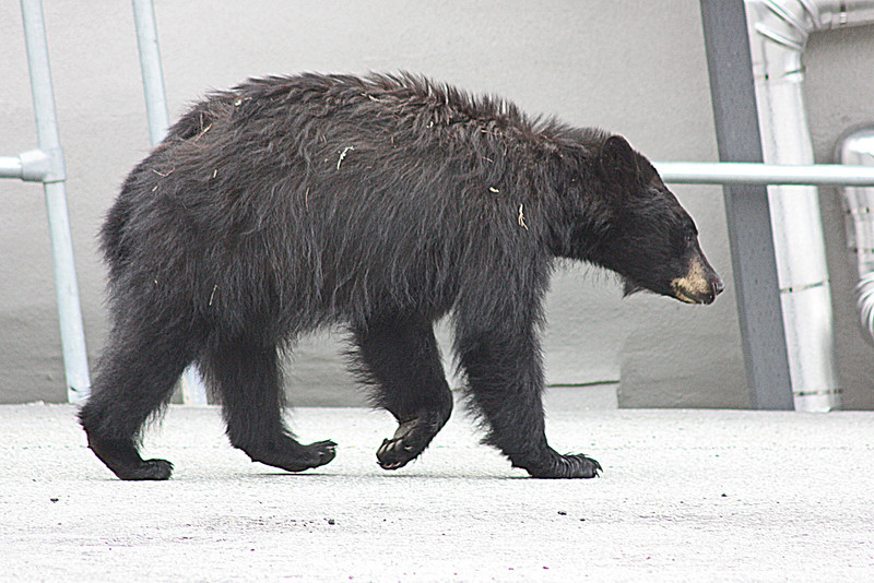 Bear by luge track, Whistler - this scruffy fellow was less than 20 feet from us and totally ignoring us.
