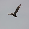 Brown pelican, Westport