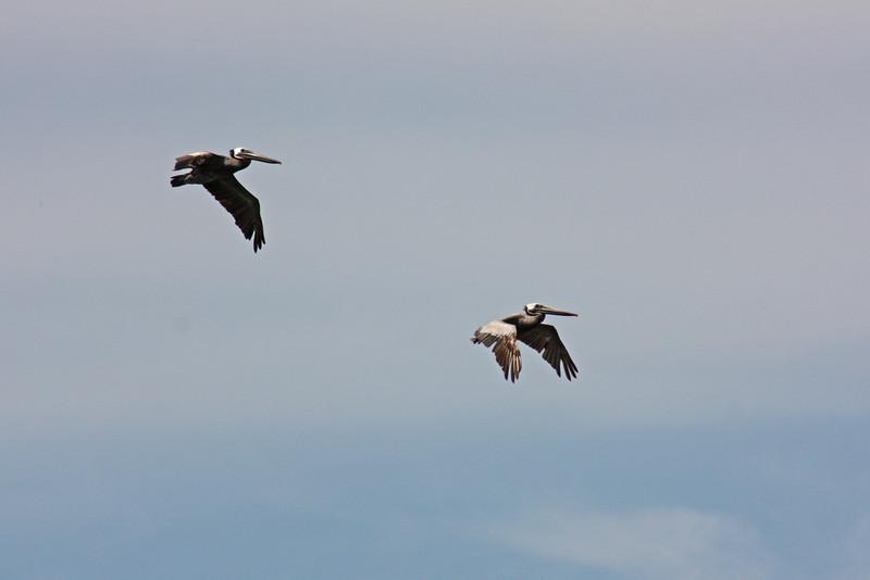 Brown pelicans, Westport