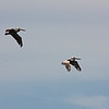 Brown pelicans, Westport