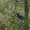 Steller's jay in pine tree