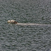 Harbor seal, Westport