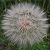 Dandelion head, Frazier River Valley