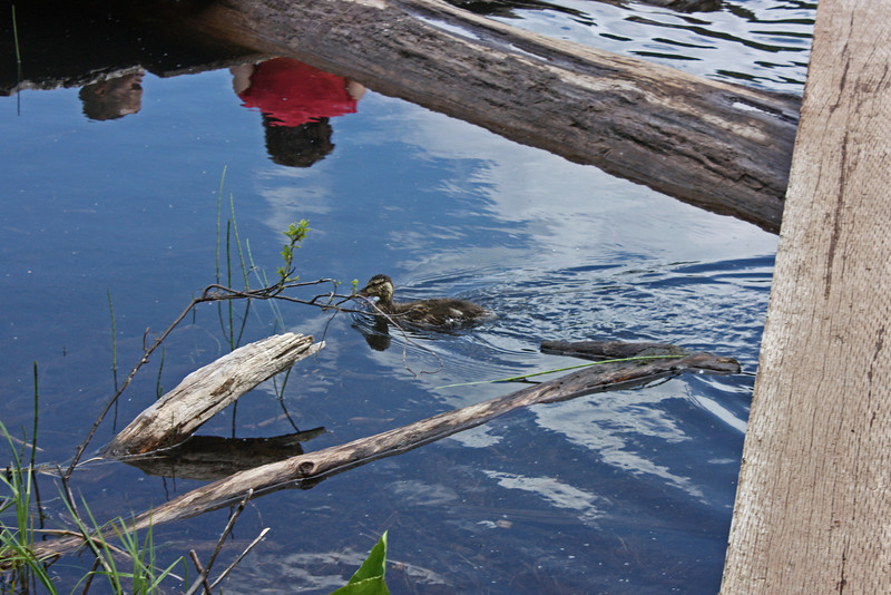 Lost Lake, Whistler - a stray duckling