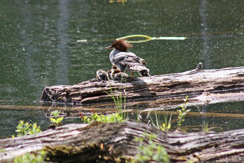 Female merganser,  with ducklings - Lost Lake