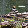 Female merganser,  with ducklings - Lost Lake
