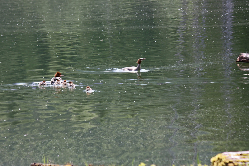 Female merganser, with ducklings - Lost Lake.  Mamma duck doesn't like the male, she gathers the babies behind her.