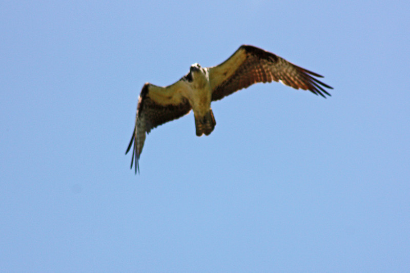 Hovering osprey, Lost Lake