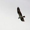 Hovering osprey, Lost Lake