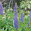 Lupines, Lost Lake, Whistler
