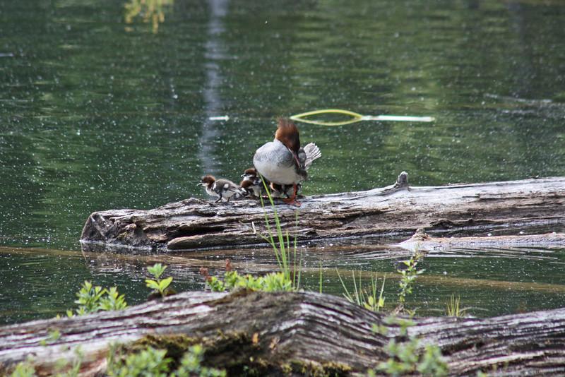 Female merganser, preening, with ducklings - Lost Lake