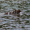Female red-breasted merganser with ducklings, Lost Lake