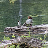 Female merganser, preening, with ducklings - Lost Lake
