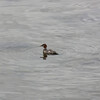 Duck (merganser?), Saltery Bay Ferry Terminal